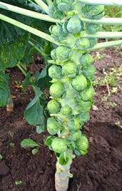 Очень интересно и непривычно растет брюссельская капуста